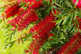 3 Callistemon 'Royal Sceptre' 25-30cm In a 2L Pots, Stunning Bright Red Flowers