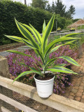 Dracaena fragrans 'Lemon Lime' 40-60cm 2L Pot