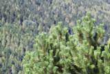 3 Pinus mugo Mughus / Dwarf Mountain Pine, 15-20cm Tall In 9cm Pots, Evergreen Trees