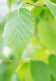 Betula papyrifera / Paper Birch, Multi-stemmed, 2-3ft Tall In 2L Pot