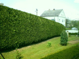 5 Green Leylandii 2-3ft Tall Hedging In Big 2L Pots, Evergreen Leyland Cypress