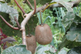 Self-Fertile Kiwi Fruit 'Jenny' 4-5ft Tall In a 5L Pot , Chinese Gooseberry