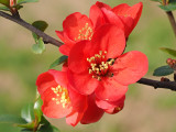Chaenomeles japonica 'Sargentii' / Japanese Quince 20-30cm Tall In 2L Pot