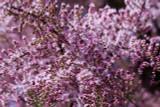 Tamarix tetrandra / Tamarisk / Salt Cedar, 4-5ft Tall In 2L Pot, Stunning Flowering Shrub