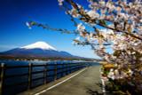 Prunus incisa 'Kojo-no-mai' / Compact Fuji Flowering Cherry In 2L Pot