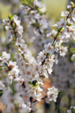 Prunus Tomentosa / Compact Nanking Flowering Cherry or Downy Cherry, In 2L Pot