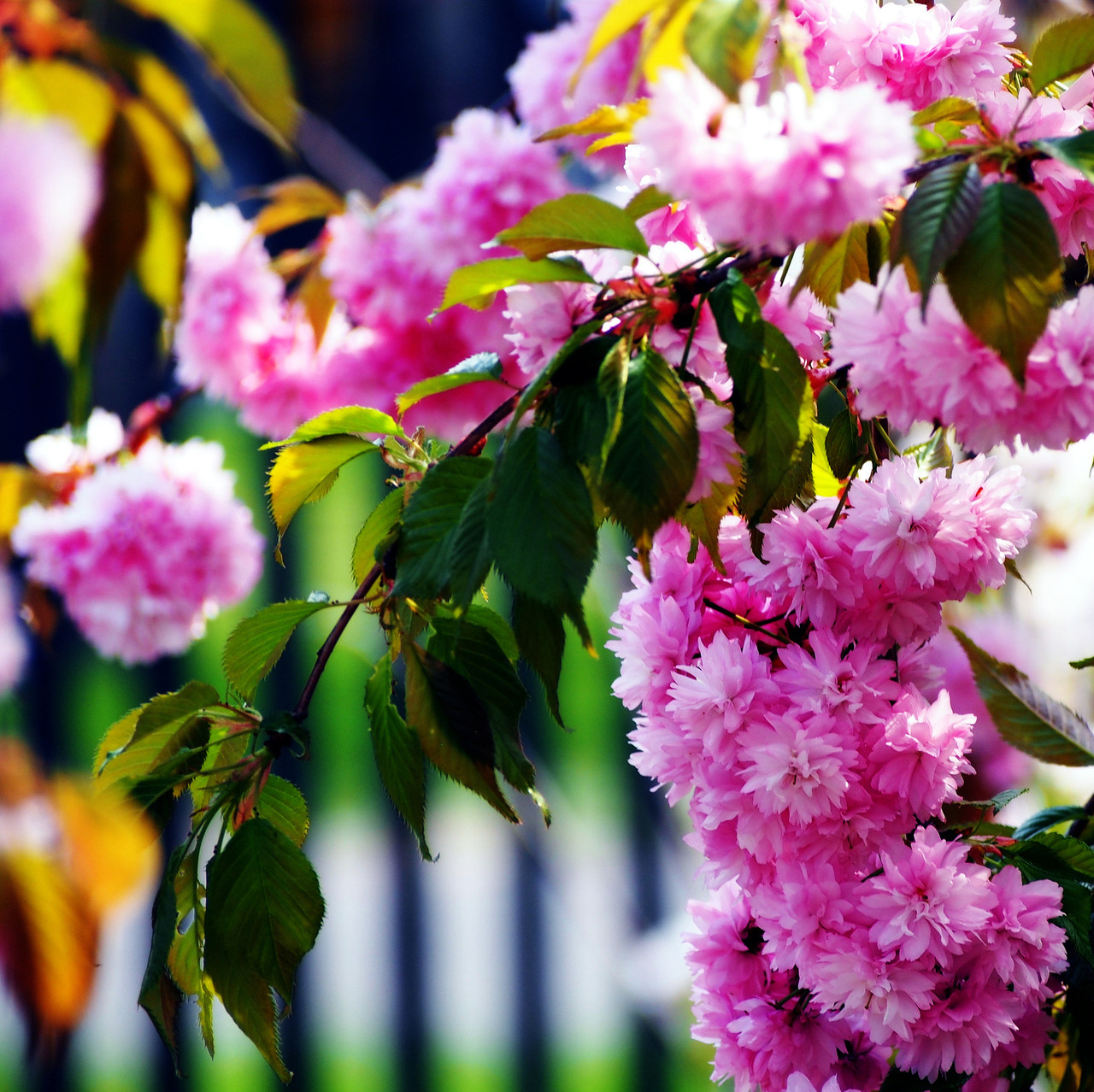 Cheals Weeping Pink Flowering Cherry Tree 5 6ft Prrulata Kiku