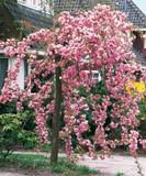 Cheal's Weeping Pink Flowering Cherry Tree 5-6ft,  P.Serrulata Kiku Shidare Zakura