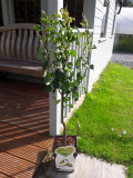 Dwarf Patio Conference Pear Tree in a 5L Pot Self-Fertile & Heavy Cropper, Ready to Fruit