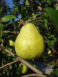 Dwarf Patio Doyenne Du Comice Pear Tree, Dessert Pear With Fine Flavour