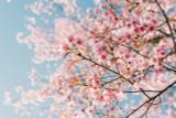 Prunus Incisa Mikinori Tree / Compact Japanese Fuji Cherry Tree In 2L Pot