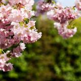 Prunus incisa 'Oshidori' / Compact Japanese Fuji Cherry Tree In 2L Pot