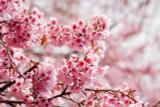Prunus incisa 'Paean' / Compact  Japanese Fuji Cherry In 2L Pot
