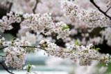 Prunus nipponica 'Brillant' / Compact Japanese Alpine Cherry Tree / Shrub In 2L Pot