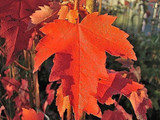 Acer Rubrum 'Sun Valley' / Maple 4-5ft Tall In 5L Pot Stunning Autumn Colours