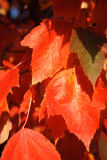 Acer Rubrum Summer Red Maple Tree In 2L Pot, Stunning Autumn Colours