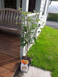 Dwarf Patio Malus domestica 'James Grieve' Apple Tree In 5L Pot, Self-fertile