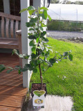 Dwarf Patio Cydonia Oblogna 'Vranja' Quince Tree In 5L Pot, Make Tasty Pies & Jelly