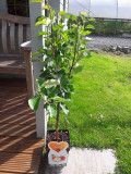 Dwarf Patio Elstar Apple Tree In 5L Pot, Sweet Crunchy Dessert Apple