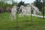 Prunus x Yedoensis 'Shidare-Yoshino' - Weeping Flowering Cherry Tree, 3-4ft Tall