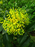 1 Oregon-Grape / Mahonia Aquifolium 2-3 ft tall