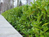 25 Cherry Laurel 30-50cm Prunus Rotundifolia,Bushy Hedging 2yr old plants