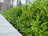 10 Cherry Laurel 30-50cm Prunus Rotundifolia,Bushy Hedging 2yr old plants