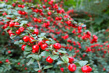 5 Cotoneaster suecicus Coral Beauty In 9cm Pots, Orange-Red Berries