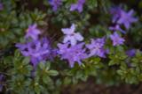 Rhododendron Impeditum / Dwarf Purple Rhododendron 20-30cm Tall in 2L Pot
