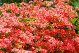 Azalea / Rhododendron Geisha Orange 20-30cm Tall In 2L Pot, Stunning Orange Flowers