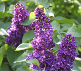 'Charles Joly' Syringa Vulgaris - Branched Lilac Tree 30-40cm Shrub in a 2L Pot