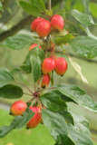 Crab Apple / Malus 'JOHN DOWNIE' Tree 4-5ft Tall In 5L Pot, Ready to Fruit, Stunning Red Apples