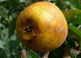 Pitmaston Pineapple Maiden Apple Tree 3ft,Honeyed,Sharp,Sweet Old English Russet