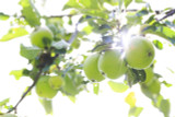 Eary Victoria Cooking  Apple Tree 4-5ft, Ready to Fruit,Self-fertile & Sweet