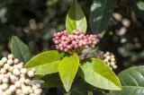 30 Laurustinus / Viburnum tinus 15-25cm in 9cm pots, Fast Growing Evergreen Hedging Plants