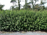 50 Green Privet Plants 4-5ft Tall, Evergreen Hedging, Grow a Quick, Dense Hedge
