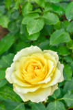 Rosa 'Freedom' Hybrid Tea Rose, Deep Butter-Yellow Flowers & Glossy Leaves