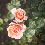 Rosa King's Macc Hybrid Tea Rose, Stuning Gold, Apricot & Pink Double Flowers