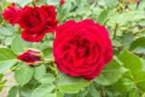 Rosa 'My Valentine' Hybrid Tea Rose, Fragrant Double Red Blooms