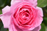 Rosa 'Tickled Pink' Floribunda Rose, Clusters of Old Fashioned Pink Blooms