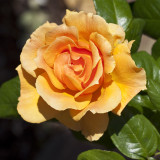 Rosa 'Easy Going' Floribunda Rose, With Warm Peachy Apricot Flowers