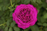 Rosa 'Old Port' Floribunda Rose, Stunning Magenta Blooms & Strong Fragrance