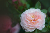 Rosa 'Sexy Rexy' Rose, Clusters of Pink Slightly Fragrant Blooms