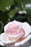 Rosa 'Titanic' Hybrid Tea Rose, Stunning Light Pink Blooms
