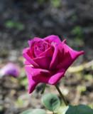 Rosa 'Big Purple' Sweetly Scented Hybrid Tea Rose, Excellent Flowers