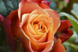 Rosa 'Remember Me' Hybrid Tea Rose, Double Bright Coppery Orange Flowers