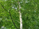 10 Silver Birch 6-8ft Stunning  Mature Specimen Trees, Betula Pendula 200cm