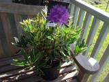 Rhododendron ponticum 'Variegatum' 30-40cm Tall In a 1.5L Pot