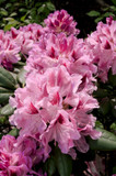 Rhododendron 'Cosmopolitan' 20-30cm Tall In 1.5L Pot, Stunning Flowers