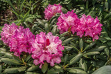 Rhododendron 'Kalinka' 20-30cm Tall In 1.5L Pot, Stunning Flowers